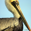 Although it was quite cold got some great shots of my favorite bird, the Pelican.  Your comments are greatly appreciated as this is a growing process.  Images were shot in Biloxi,Mississippi